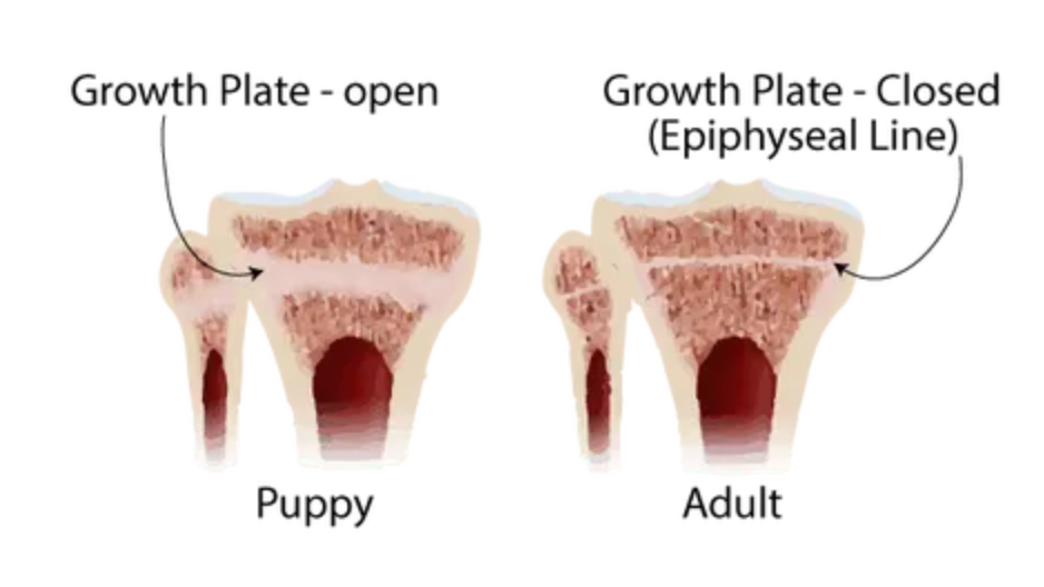 growth plates puppy
