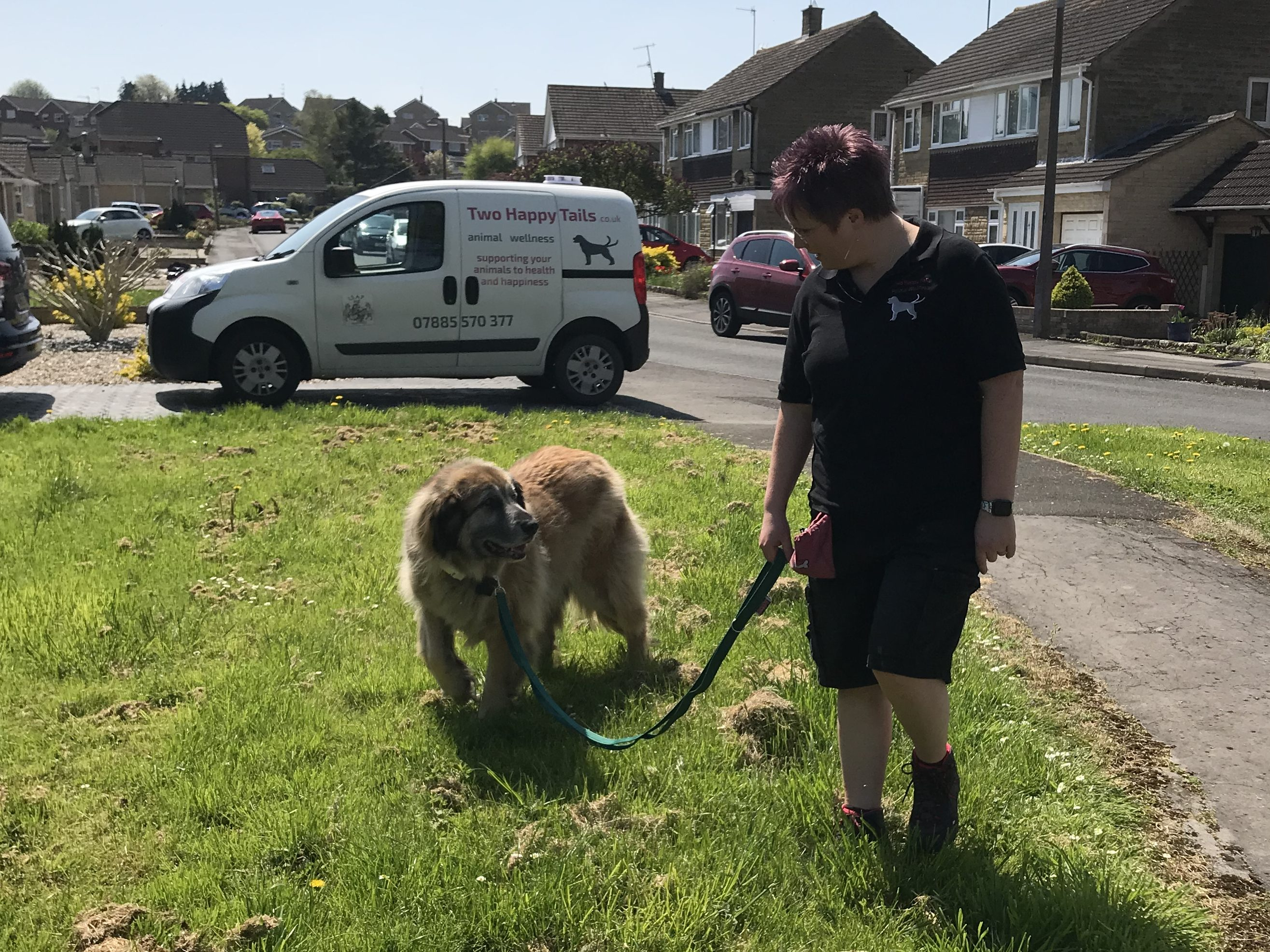 Dog walking – solo local leonberger swindon