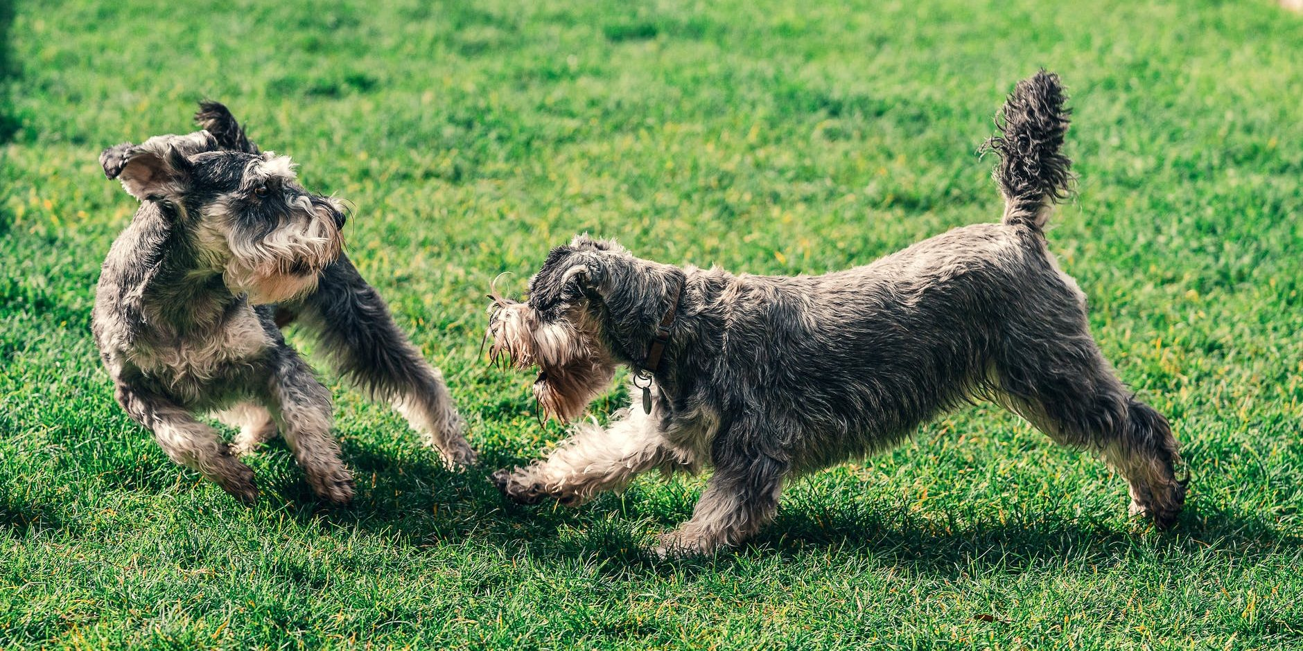 photo of two schnauzer playing on grass